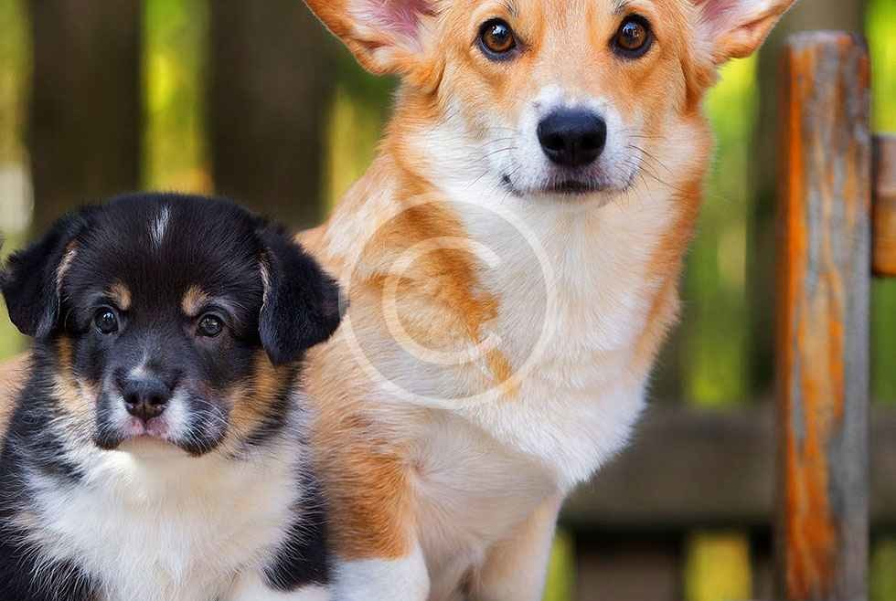 Big or Small, Corgi's Good for All