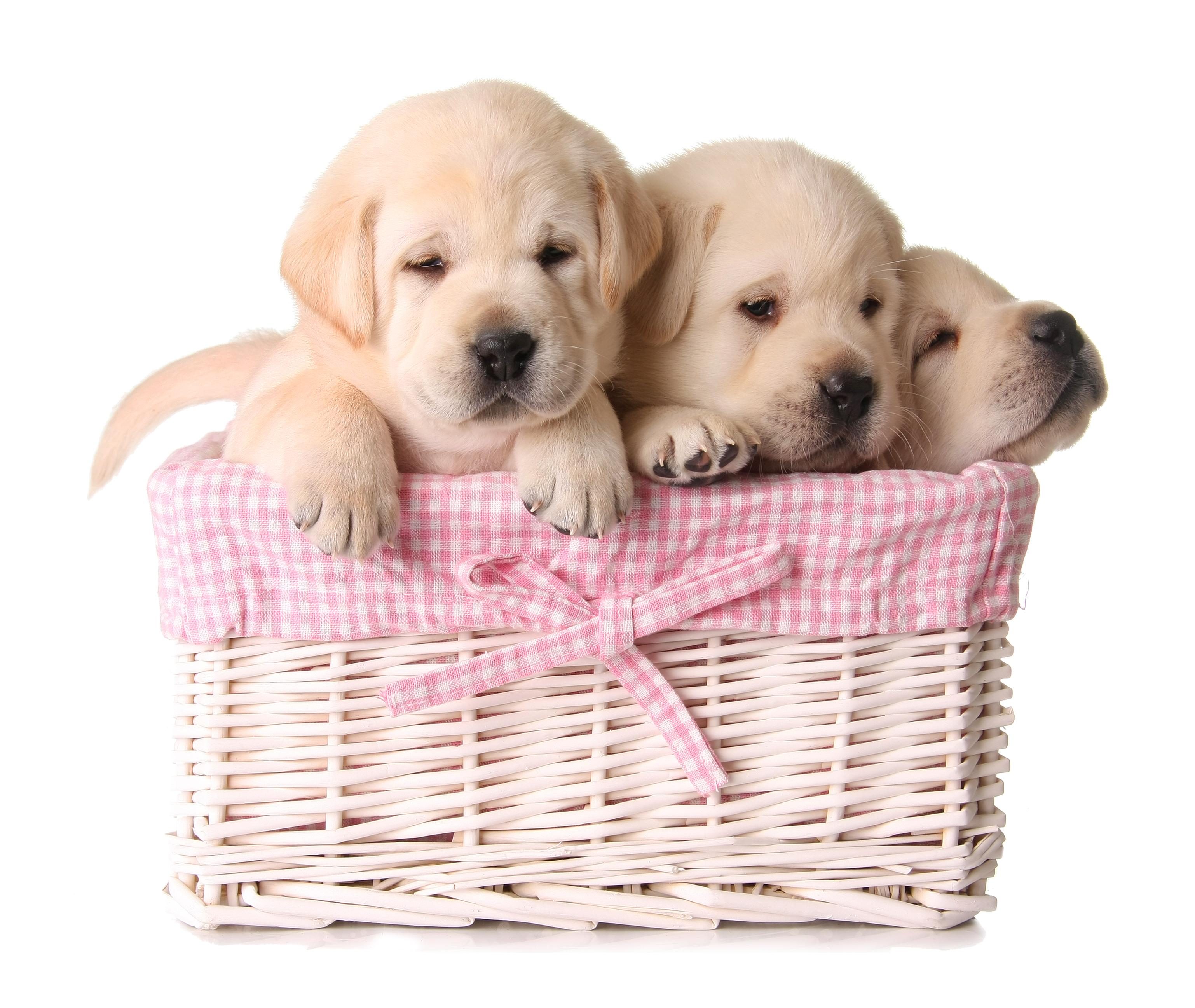 Abbiamo Labrador disponibili in adozione gratuita!