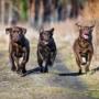 5 domande essenziali sull'addestramento del Labrador